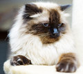 Cute family cat persian cat portrait image of a the kitten is lying on its tree and looking down she has blue eyes Stock Images