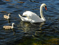 A cute family of swans swimming in river Royalty Free Stock Photos