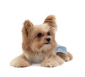 Cute female dog mixed breed in blue dress isolated in white background with clipping path Royalty Free Stock Photography