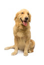 Cute female golden retriever looking at camera isolated in white background with clipping path Royalty Free Stock Image
