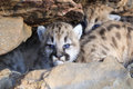 Cute fluffy mountain lion cub a very young with full set of whiskers in den Royalty Free Stock Photos