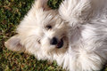 Cute fluffy puppy dog white laying on it s back waiting to be patted pomeranian cross terrier small Royalty Free Stock Image