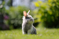 Cute fluffy rabbit outdoors on green grass a gray and white sitting and looking to its left Royalty Free Stock Photo