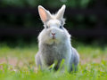 Cute fluffy rabbit a sitting on a green lawn looking at camera Stock Images