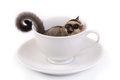 Cute flying squirrel in white ceramic cup of coffee on background Stock Photos