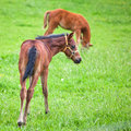 Cute foals sorrel on the green meadow Stock Image