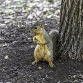 A Cute Fox Squirrel Standing O...