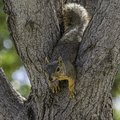 A Cute Fox Squirrel Wedged In ...