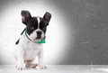 Cute  french bulldog puppy dog sitting Stock Images