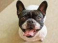 Cute french bulldog staring to camera Royalty Free Stock Photos