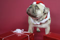Cute French Bulldog wearing a Christmas costume Royalty Free Stock Photo