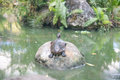 Cute fresh water turtle. Royalty Free Stock Photo