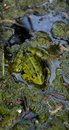 Cute frog sitting on a dirty algae, which reflects on the meaning of life. Royalty Free Stock Photo