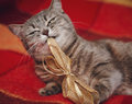 Cute funny cat is playing with christmas knot.Checkered plaid Royalty Free Stock Photo