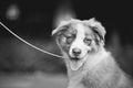 Cute funny puppy Australian Shepherd