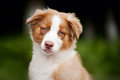 Cute funny puppy Australian Shepherd Royalty Free Stock Photos