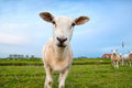 Cute funny sheep close up on summer pastoral Royalty Free Stock Photos
