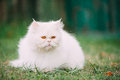 Cute Funny White Persian Cat Kitten With Yellow Eyes Resting In Royalty Free Stock Photo