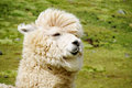Cute furry alpaca portrait Royalty Free Stock Photo