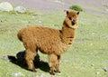 Cute furry brown alpaca Royalty Free Stock Photo