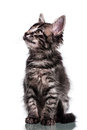 Cute Furry Kitten Looking Up Royalty Free Stock Photo