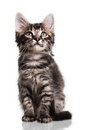 Cute Furry Kitten Royalty Free Stock Photo