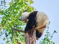 Cute Giant Panda Bear Cub in zoo Royalty Free Stock Photo