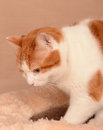 Cute ginger and white cat on soft pet bed Stock Image