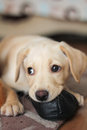 A cute golden labrador puppy biting shoe Royalty Free Stock Images
