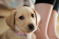 A cute golden labrador puppy posing for the camera Stock Image