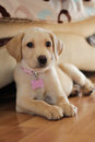 A cute golden labrador puppy sat up beside the sofa Stock Image