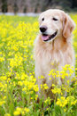 Cute Golden Retriever in beautiful flower sea Stock Photo