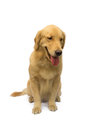 Cute golden retriever sitting waiting for order isolated in white background with clipping path Royalty Free Stock Photography