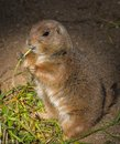 Cute gopher little eating grass Royalty Free Stock Photography