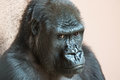 Cute gorilla close up portrait sitting on the ground Royalty Free Stock Photo