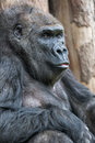 Cute gorilla portrait sitting on the ground at the zoo Royalty Free Stock Photo