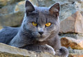 Cute gray cat portrait of a Stock Image