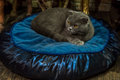 Cute gray colored kitten resting on cat bed Royalty Free Stock Photo