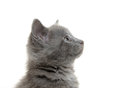 Cute gray kitten baby american shorthair on white background Stock Image