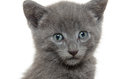 Cute gray kitten baby american shorthair on white background Stock Images
