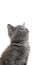 Cute gray kitten baby american shorthair on white background Royalty Free Stock Images