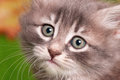 Cute gray kitten close up portrait of a small Royalty Free Stock Photo