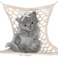 Cute gray kitten in hammock top view on white background Royalty Free Stock Images