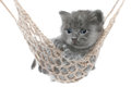 Cute gray kitten in hammock on a white background Stock Photography