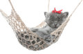 Cute gray kitten in hammock on a white background Royalty Free Stock Photos