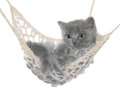 Cute gray kitten in hammock on a white background Stock Photos