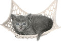 Cute gray kitten lying in hammock on a white background Stock Photos