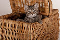 Cute gray kitten in picnic basket Royalty Free Stock Photos