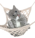 Cute gray kitten sucks milk bottle in a hammock top view on white background Stock Photo