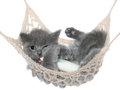 Cute gray kitten sucks milk bottle in a hammock on white background Royalty Free Stock Photography